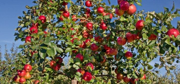 NJ Fall-NJ Farms-Apple Picking-Macintosh Apples