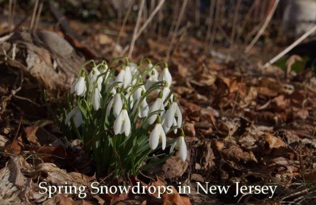 NJ Spring Blooms: Snowdrops