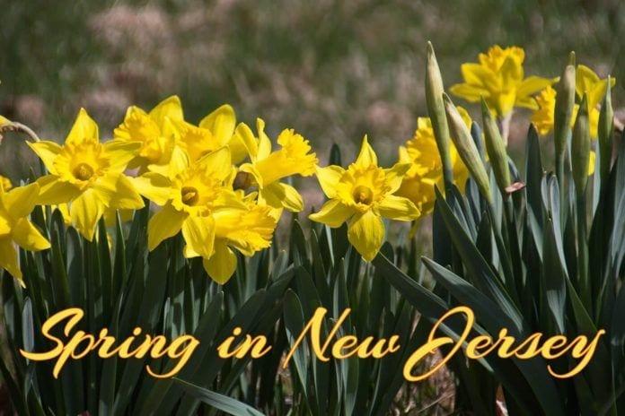 NJ Flowers in Spring: Daffodils