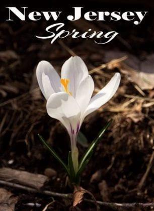 NJ Flowers in Spring: Crocus