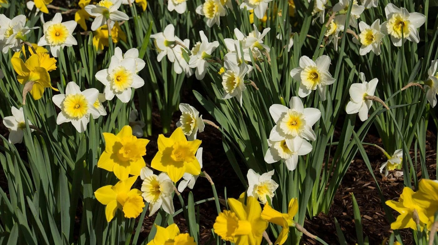 Daffodils-1400