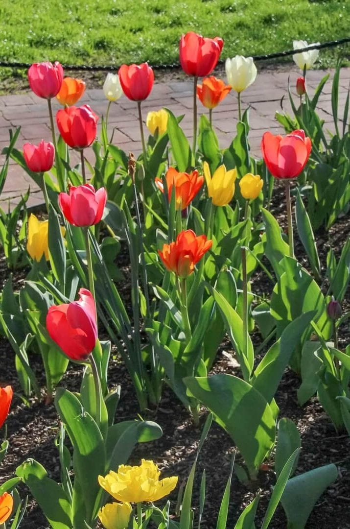 Tulips-1400