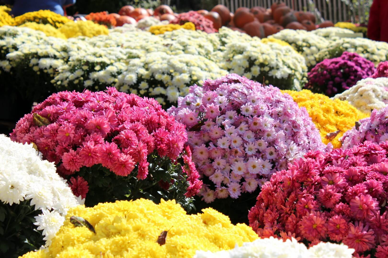 Mums The Word A Guide To Mum Season In Nj Best Of Nj The Best
