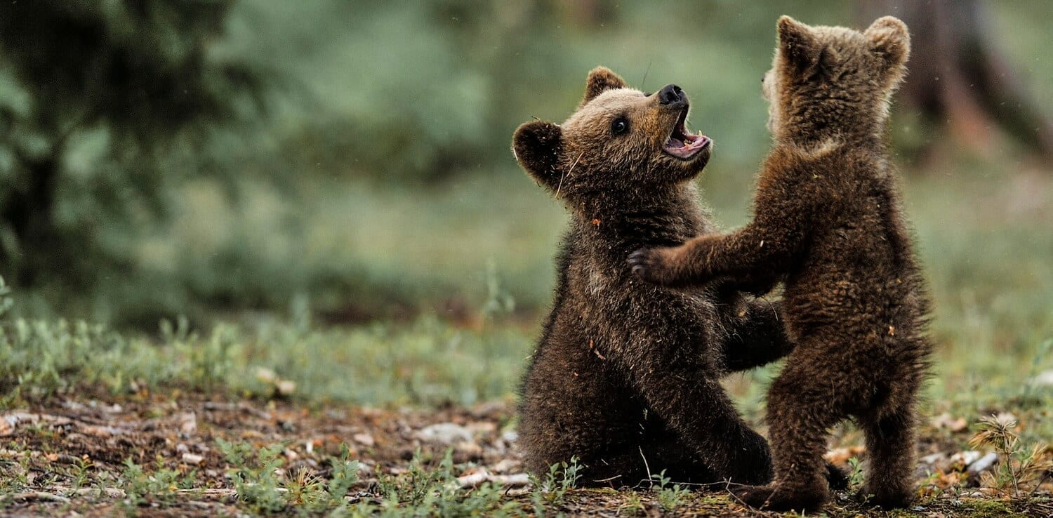 two bear cubs wrestle on a backyard trampoline