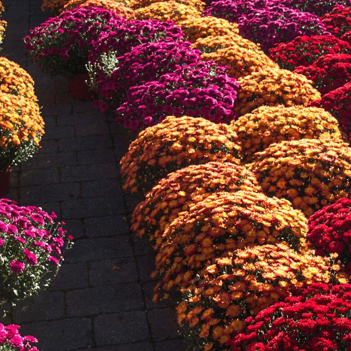 NJ Mums: Garden Center Mums, Grown in New Jersey