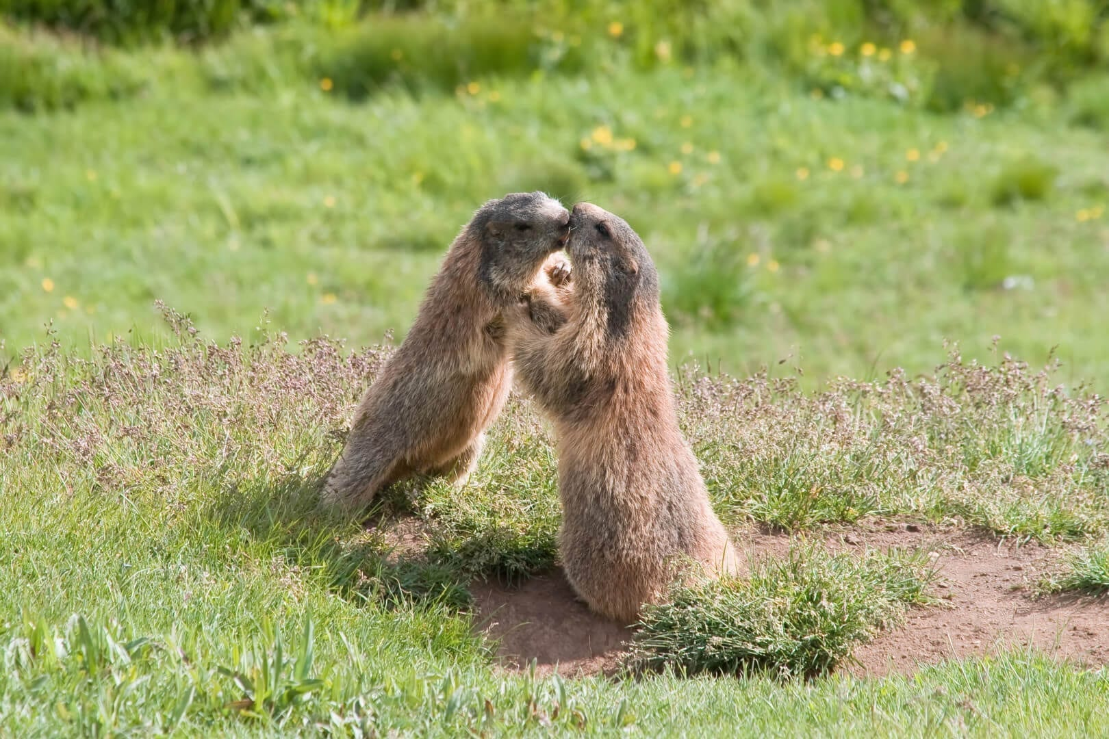 how to keep groundhogs out of your yard