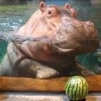 Hippos at Aquarium
