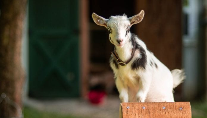 Photo of Goat at Dutch Hill Farms