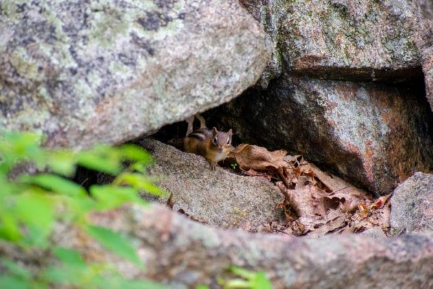 Squirrel Hiding in Rocks