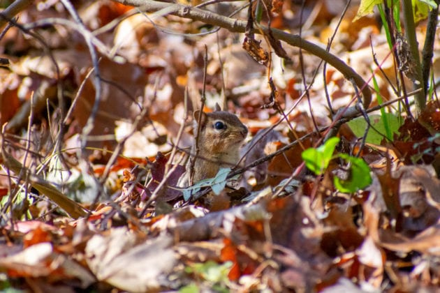 Chipmunk in Bushes